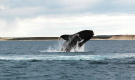 Ballenas Puerto Madryn (4)